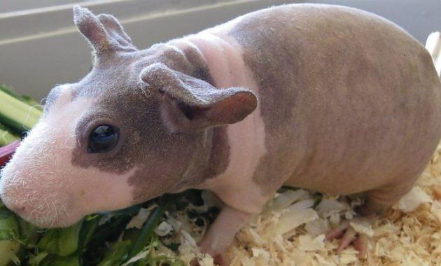 Bald and Hairless Animal: Hairless Guinea Pig