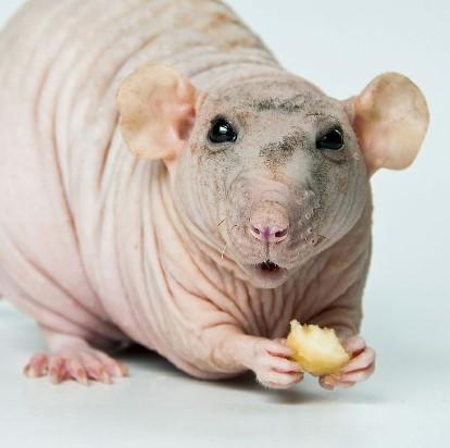 Bald and Hairless Animal: Hairless Rats