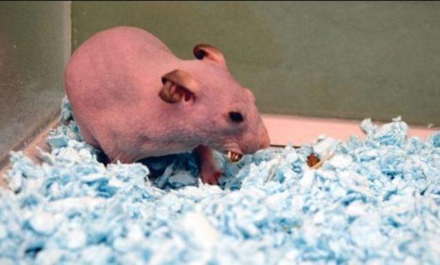 Bald and Hairless Animal: Hairless Syrian Hamster