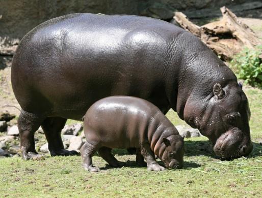 Bald and Hairless Animal: Hippopotamus
