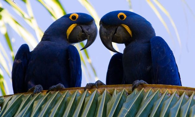 Blue Colored Birds : Hyacinth Macaw