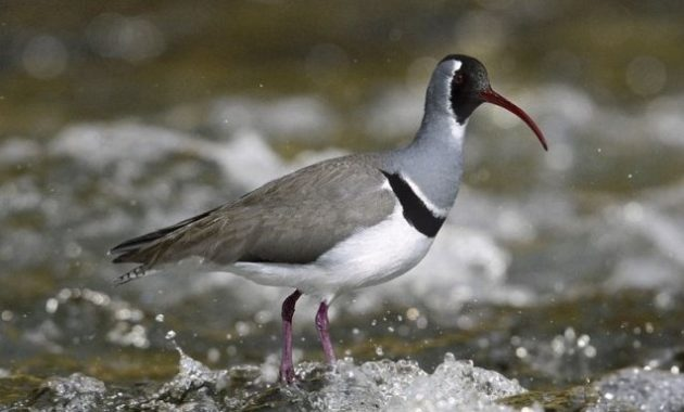 animals that start with i : Ibisbill