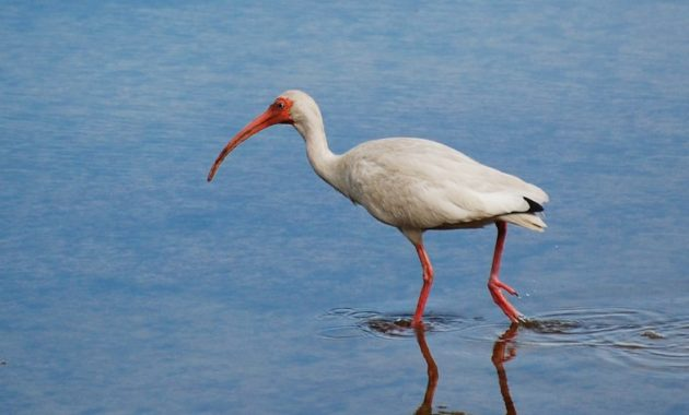 animals that start with i : Ibises