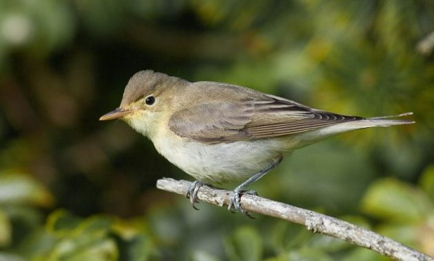 animals that start with i :Icterine Warbler