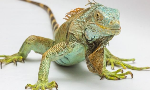 animals that start with i : Iguana