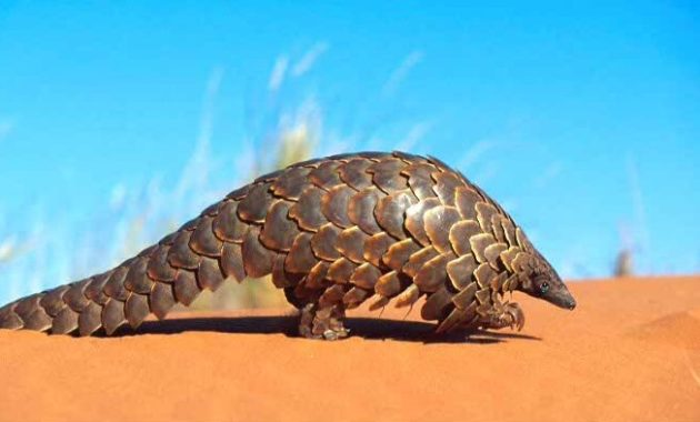 animals that start with i :Indian Pangolin