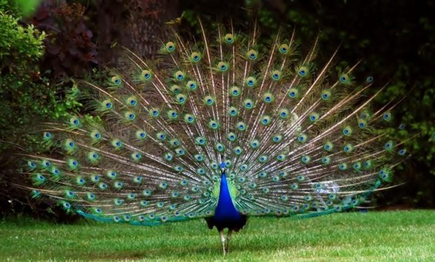 Blue Colored Birds : Indian Peafowl