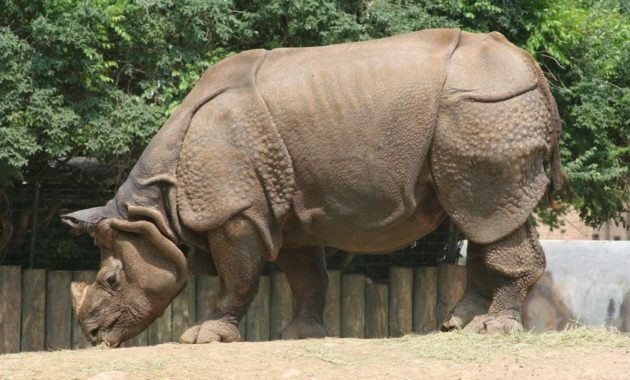animals that start with i : Indian Rhinoceros