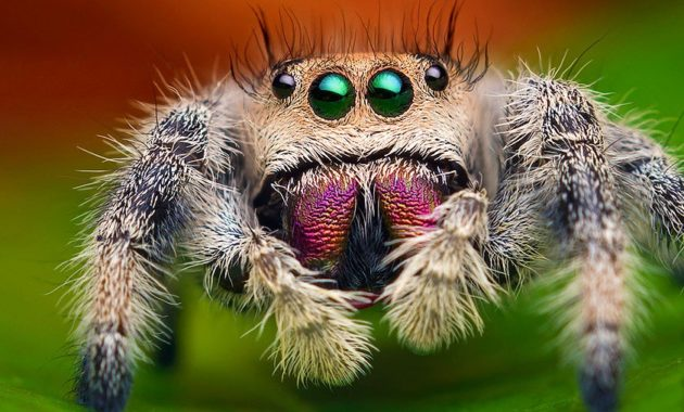 Highest Jumping Animals : Jumping Spider