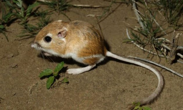 Highest Jumping Animals : Kangaroo Rat