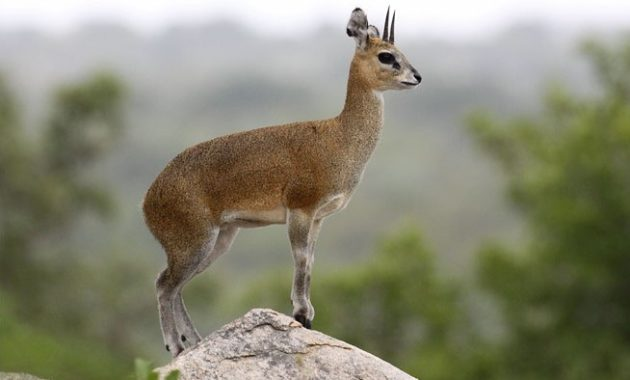 Highest Jumping Animals : Klipspringers