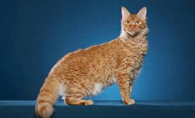 Beautiful Curly Haired Cat Breeds in the World