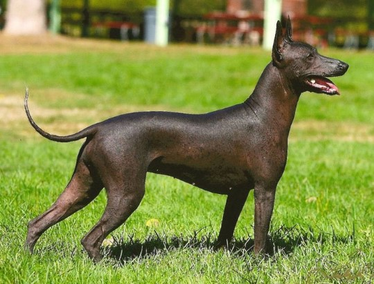 Bald and Hairless Animal: Machu Picchu The Hairless Dog breed