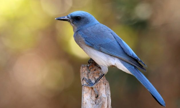 Blue Colored Birds : Mexican Jay