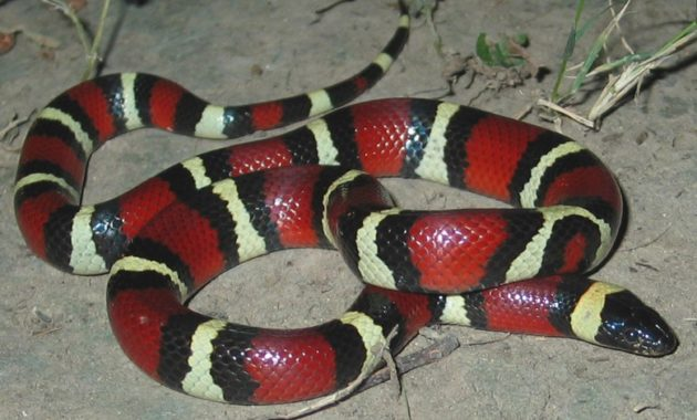 Colorful Small Snake : Mexican Milk Snake (Lampropeltis triangulum annulata)