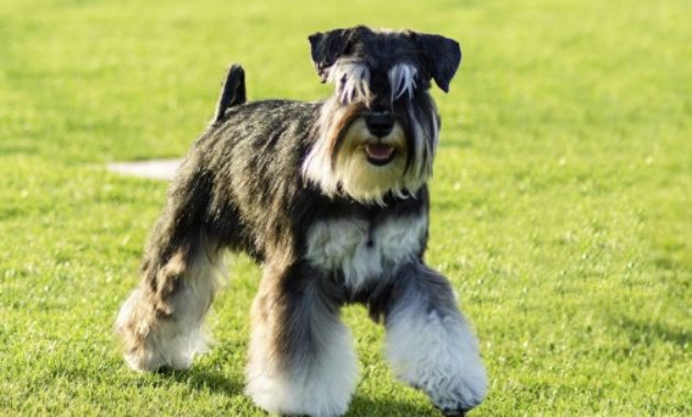 Beautiful Dog Breeds in the world: Miniature Schnauzer