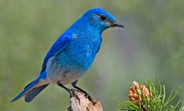 Blue Colored Birds : Mountain Bluebird