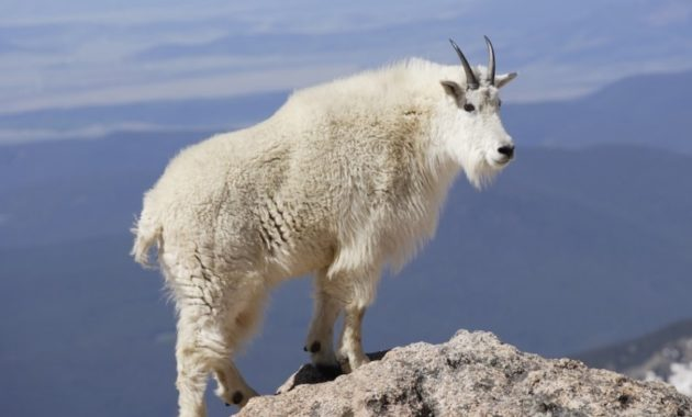 Highest Jumping Animals : Mountain Goat