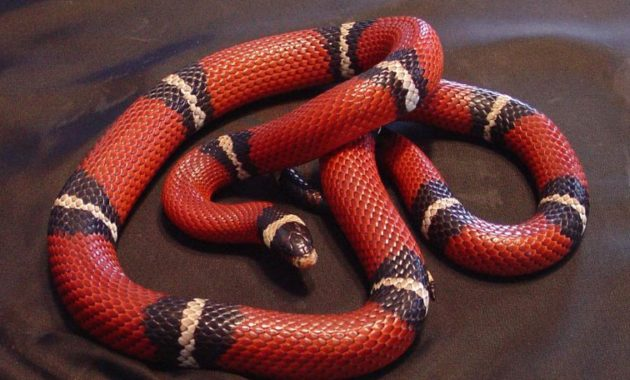 Colorful Small Snake : Nelson's Milk Snake