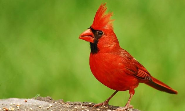 a list of beautiful animals with red colored : North Cardinal