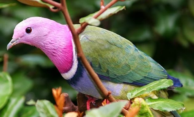 beautiful pink colored bird : Pink-headed Fruit Dove