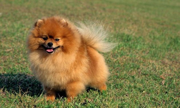 Beautiful Dog Breeds in the world: Pomeranian