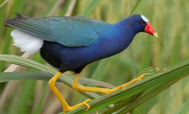 Beautiful Purple Colored-Birds: Purple Gallinule