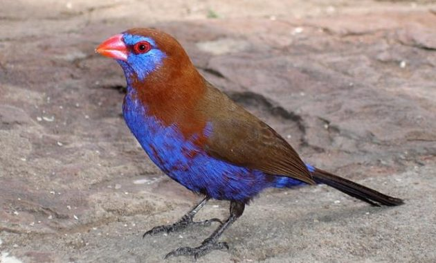 Beautiful Purple Colored-Birds: Purple Grenadier