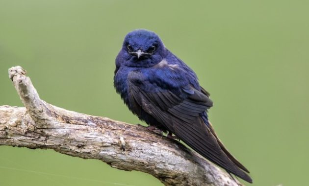 Beautiful Purple Colored-Birds: Purple Martin