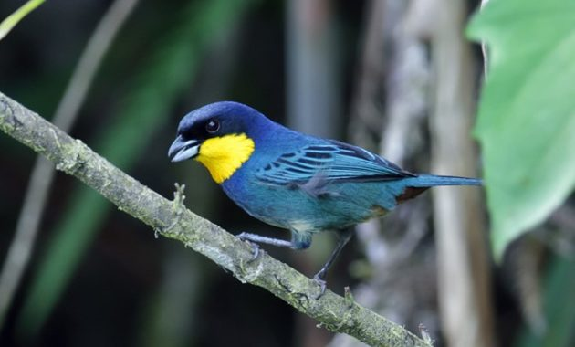 Beautiful Purple Colored-Birds: Purplish-mantled Tanager