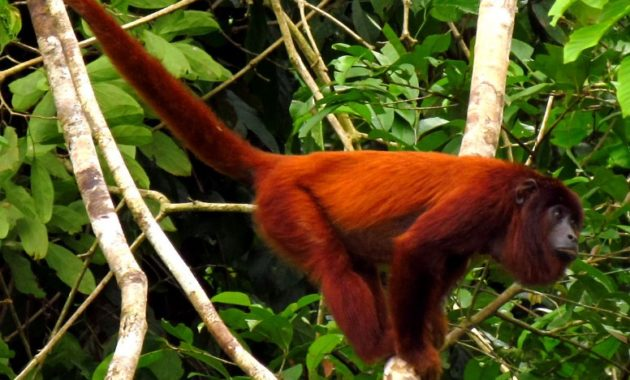 a list of beautiful animals with red colored : Purus Red Howler