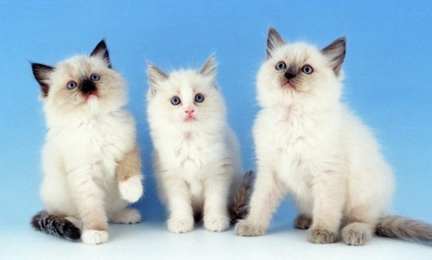 beautiful cat breeds : Ragdoll