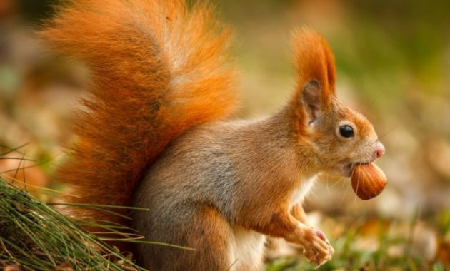a list of beautiful animals with red colored : Red Squirrel