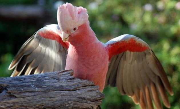 beautiful pink colored bird : Rose-Breasted Cockatoo