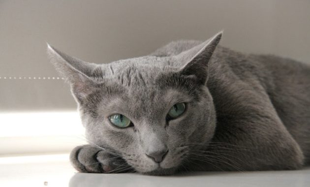 beautiful cat breeds : Russian Blue