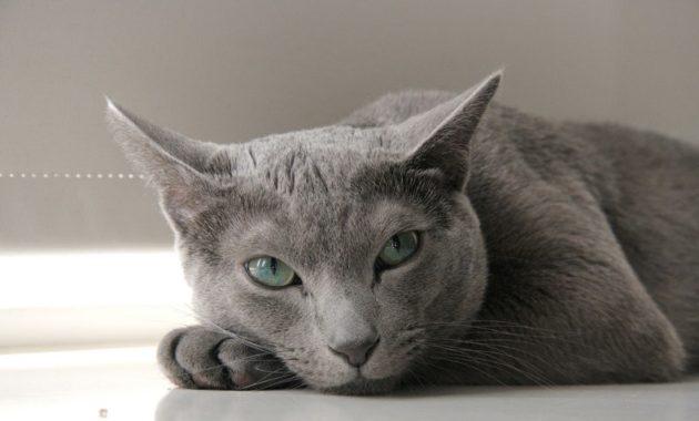 beautiful cat breeds : Russian Blue