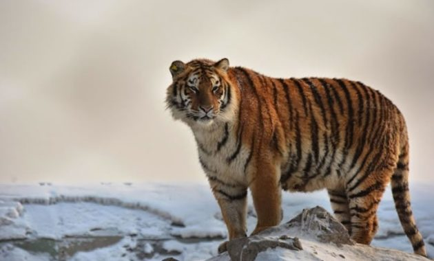 Highest Jumping Animals : Siberian Tiger