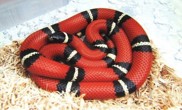 Colorful Small Snake : Sinaloan Milk Snake