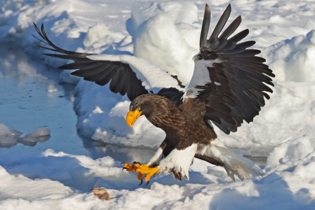 Types of Eagles: Steller's Sea Eagle