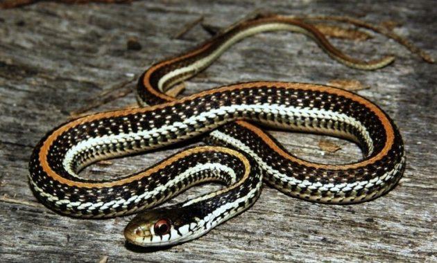 Colorful Small Snake : Texas Garter Snake