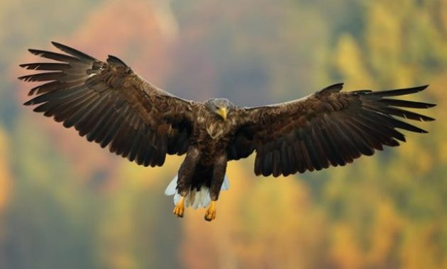 Types of Eagles: The White Tailed Eagle