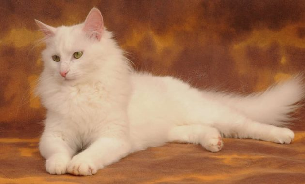beautiful cat breeds : Turkish Angora