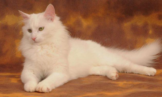 beautiful cat breeds : Turkish Angora