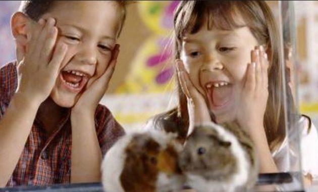 fact of syrian teddy bear hamster good pets