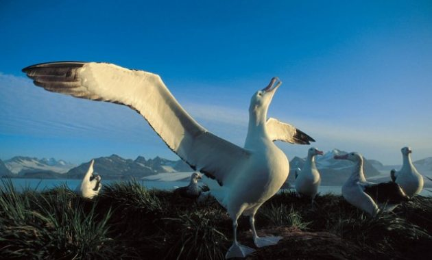 Largest Birds : Wandering Albatross