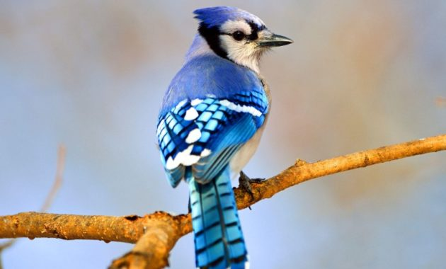 amazing blue birds in the world