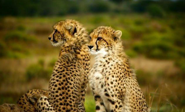 animals that start with c : cheetah