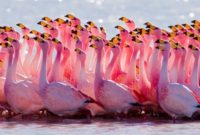 birds with pink color