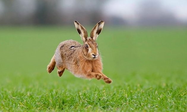 Highest Jumping Animals : hare