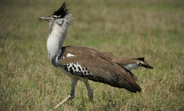 Largest Birds : kori bustard